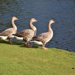 Les canards du Paradis et d'ailleurs ont besoin d'une nourriture adaptée
