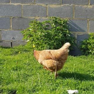 Adoptez des poules dans votre jardin